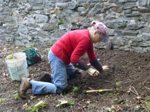 May 2014--Ellen Reese works on weeding and digging out invasive vine roots